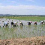Pals la plantada de arroz