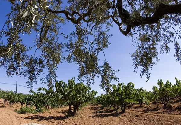 Viñas y olivos en las Tierras del Ebro