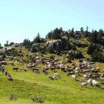 Vacas en Setcases