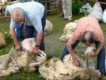 Esquilada ovejas en el Pirineo catalán